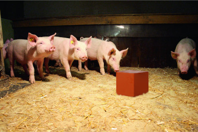 Porcs et menu bétail